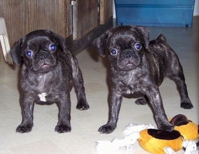 Frenchie Pug puppies standing on a tiled floor behind a dog toy looking at the camera