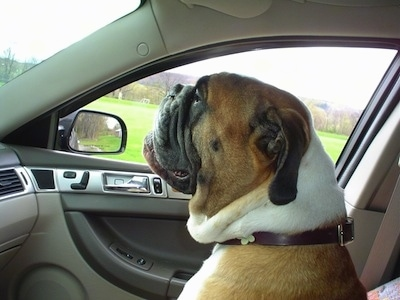 Amos Moses the EngAm Bulldog is sitting in the passenger seat of a vehicle and looking over the windshield