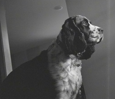 Right Profile - A black and white photo of Molly the English Springer Spaniel looking out of a window