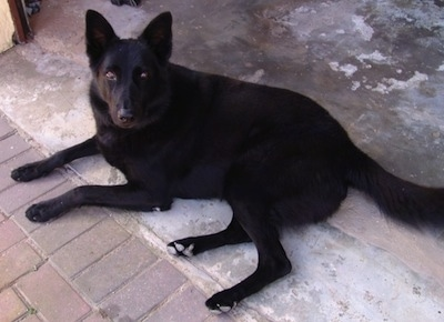 A black German Shepherd is laying on a concrete floor in front of a brick walkway and looking up