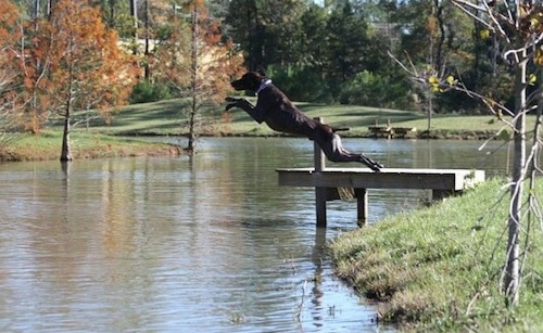 A black with grey and white German Shorthaired Pointer is jumping off of a wooden dock outside into a body of water