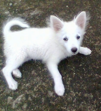 A white German Spitz puppy is laying outside on a rock surface