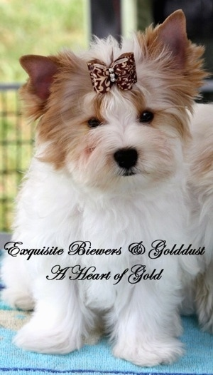A white with brown Golddust Yorkshire Terrier is sitting on a blue towel next to another dog. It has a ribbon in its hair. The Words - Exquisite Biewer and Golddust A Heart of Gold - are overlayed