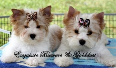 There are two Golddust Yorkshire Terrier puppies side by side on a blue towel. They are both wearing ribbons in there hair