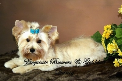 A tan with white Golddust Yorkshire Terrier is laying on a fuzzy rug in front of a bunch of flowers. The words - Exquisite Biewer and Golddust Quincy - are overlayed