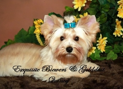 A brown with white Golddust Yorkie is laying on a fluffy rug with a teal-blue ribbon in its top knot with a plant that has yellow flowers  behind it. The Words - Exquisite Biewers and Golddust Quincy - are overlayed