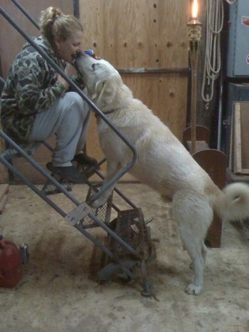 A lady is sitting at the top of a portable metal staircase inside of a barn while a Great Pyrenees dog climbs up to lick her face