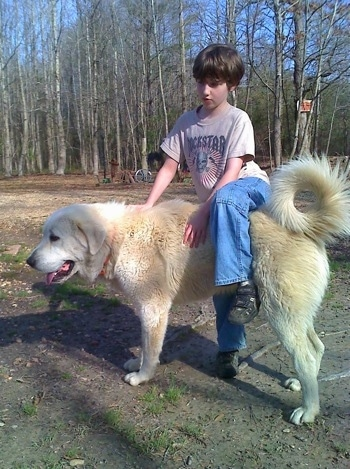 A young boy has one leg over the back of a Great Pyrenees outside in a field with a line of trees behind them.