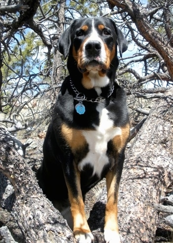 A tricolor black, tan and white Greater Swiss Mountain Dog is wearing a choke chain collar standing up in a tree