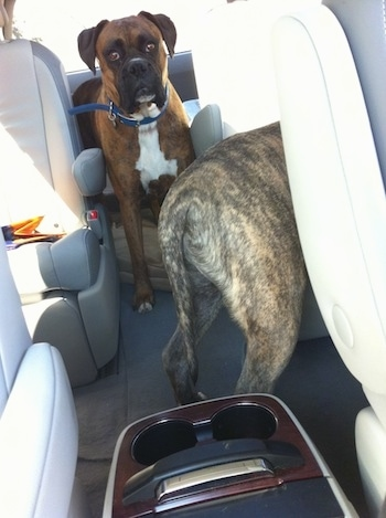 A brindle with white Boxer and the back of a blue nose brindle Pitbull Terrier are waiting in a car