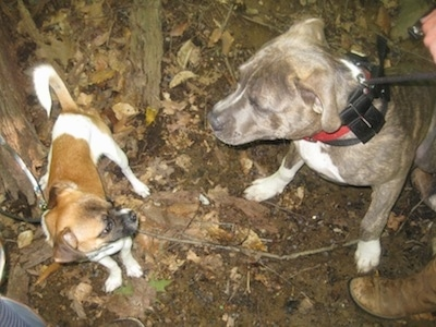 Top down view of a blue nose brindle Pit Bull Terrier meeting a new tan and white dog