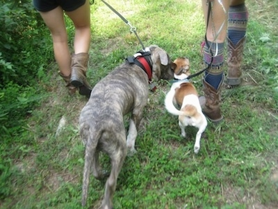 The back of a blue nose brindle Pit Bull Terrier and a tan and white dog are being lead on a walk together