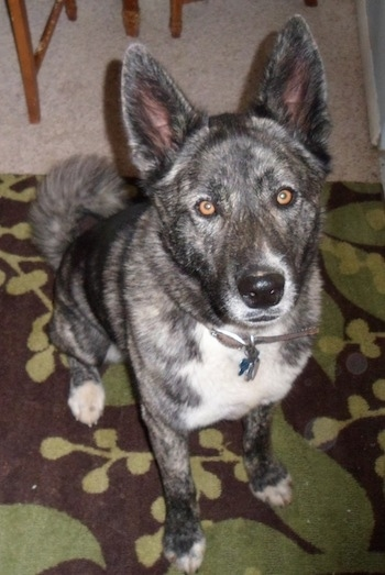 A gray and black brindle Huskita is sitting on a brown and green rug and looking up