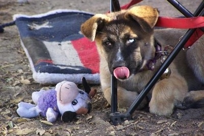 A brown and black Huskita puppy with one blue eye is laying outside in dirt under a chair. It is licking its nose. There is a plush cow toy and a red, white and blue mat behind it.