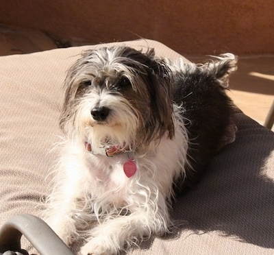 A wiry looking grey with white Italian Tzu is laying in the sun on a tan recliner lawn chair