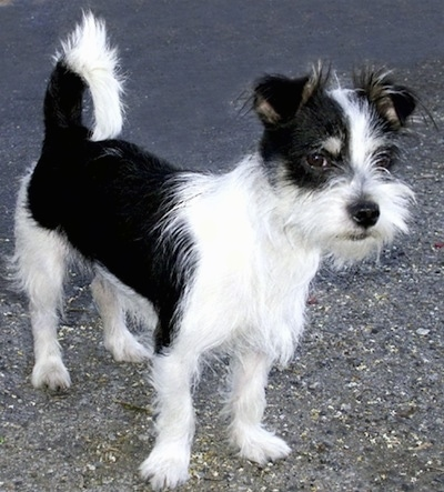 A black and white Jack Tzu is standing in a street