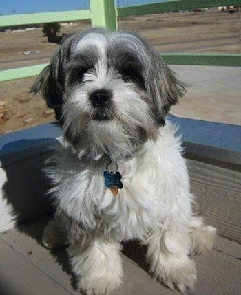 A white with grey Jack Tzu is sitting on a porch.