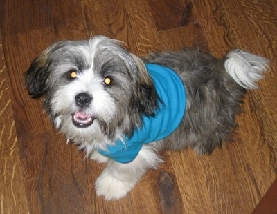 A grey with white and tan Jack Tzu is wearing a blue shirt and is sitting on a hardwood floor