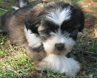 A small Jack Tzu puppy is laying in grass and looking forward