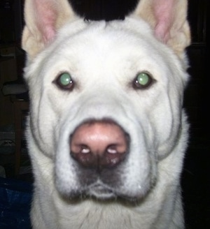 Close-up - The face of a white Japanese Akita Inu
