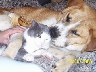 A tan and white Labernard dog is laying on its side on a couch next to a grey with white cat. There is a person next to them who has a hand on the dog's front paw.