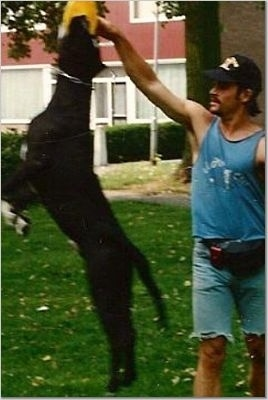 Action shot - A black with white Lakota Mastino dog is jumping up to grab an item out of the hand of a person holding it high in the air