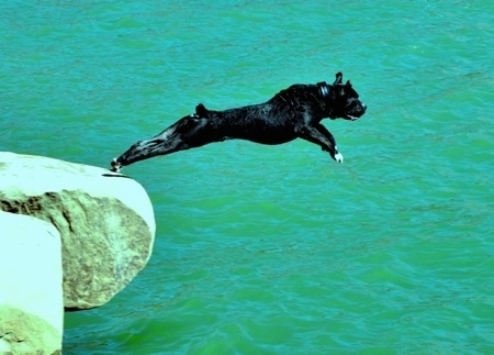 Action shot - A black Lakota Mastino dog is jumping off of a rock into a body of green water. Its back legs are touching the edge of a rock ledge and its entire front end is stretched forward in mid-air.
