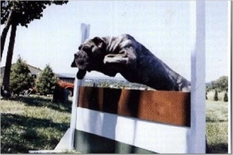 Action shot - A black Lakota Mastino dog is jumping over top of an agility obstacle