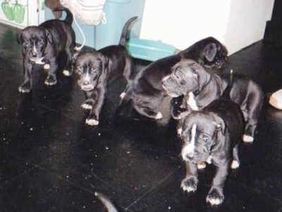 A litter of black with white Lakota Mastino puppies are standing on a black tiled floor