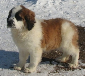A brown with white and black Nehi Saint Bernard puppy is standing in melting snow.
