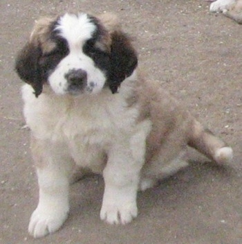 A brown with white and black Nehi Saint Bernard puppy is sitting on a dirt surface.