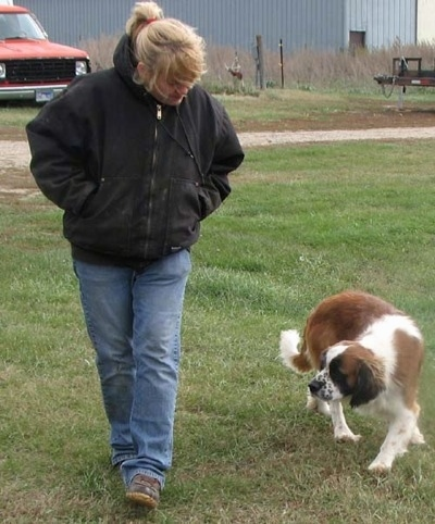 A white and brown with black Miniature Saint Bernard is following behind a blonde haired lady walking through grass. There is a gray building and an old red truck behind them.