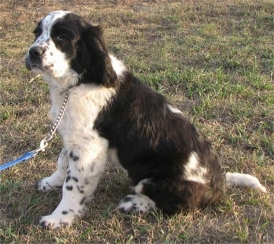 Left Profile - A black and white ticked Miniature Saint Bernard is sitting in grass and looking to the left.
