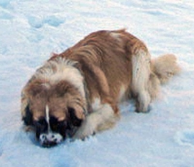 A brown with white and black Nehi Saint Bernard dog is digging in deep snow.