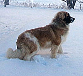 Right Profile - A brown with white and black Nehi Saint Bernard dog is standing outside in snow.