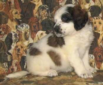 A white with brown and black Nehi Saint Bernard puppy is sitting on a couch that has dogs printed all over it. It is looking behind.