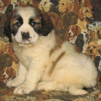 Left Profile - A brown with white and black Nehi Saint Bernard puppy is sitting on a couch with dogs printed all over it looking forward.
