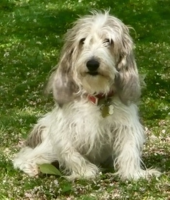 Front view - A shaggy-looking, white with black and tan Petit Basset Griffon Vendeen dog is sitting in grass and it is looking forward. Its ears are long with lots of fur on them.