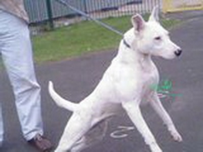 A white Pakistani Bull Terrier on a leash pulling so hard its front paws are in the air. It is on a blacktop surface.