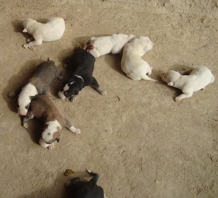 View from the top looking down at the dog of a litter of newborn Pakistani Bull Terrier puppies sniffing there new environment.