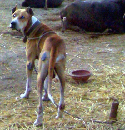 The backside of a brown with white Pakistani Mastiff dog standing in dirt that is covered in hay looking back at the camera. There are cattle laying on the ground in front of it.