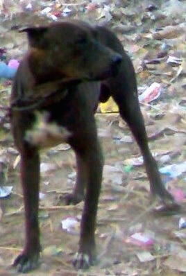 A brown with white Pakistani Mastiff is standing in dirt and there is trash all over the ground. It is looking to the right.