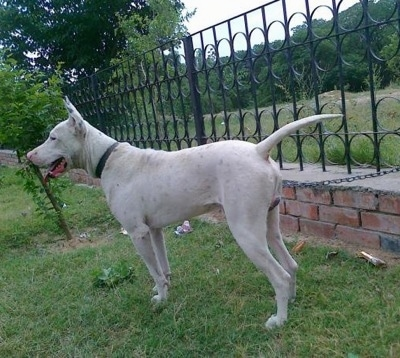 Left Profile - A perk-eared, white with black Pakistani Bull Terrier. Its mouth is open and its tongue is out. There is a newly planted tree next to it.