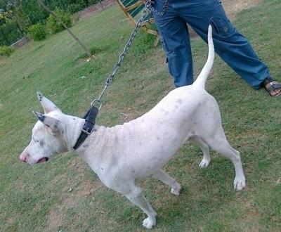The backside of a white with black Pakistani Bull Terrier is standing in grass and behind it is a person in blue pants and black sandals holding its leash.