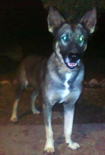 A black with white and tan Pakistani Shepherd Dog is standing on a concrete porch at night looking forward. Its mouth is slightly open.