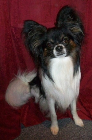 Close up front view - A long-haired white and black with brown Papillon is sitting on a red backdrop. It is looking forward and its head is tilted to the left. It has longer fringe hair on its ears and tail.