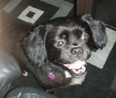 Close up head and upper body shot - A black Peke-a-poo dog is standing in front of a black leather couch and it is looking up. Its mouth is open and its tongue his curled.