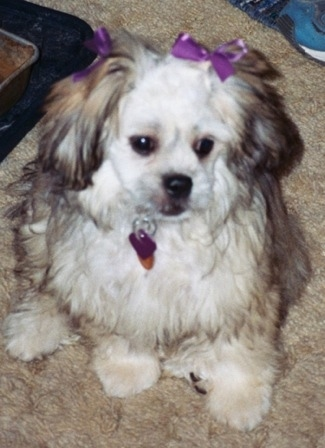 Close up - A tan with black and white Peke-a-poo puppy is sitting on a tan carpet wearing two purple ribbons on its ears and looking to the right.