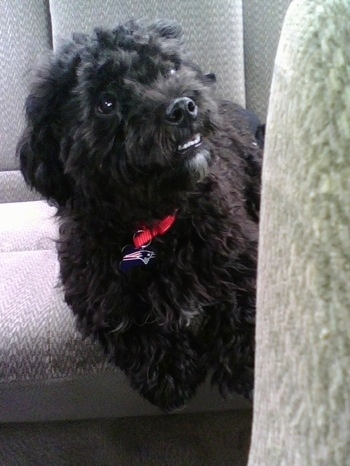 A black Peke-a-poo  is laying in the backseat of a vehicle looking up and to the right. It has a New England Patriots charm hanging from its collar. The dog has an underbite and its bottom teeth are showing.