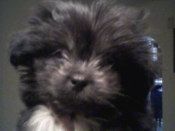 Close up head shot - A fuzzy, black with white Peke-a-poo puppy